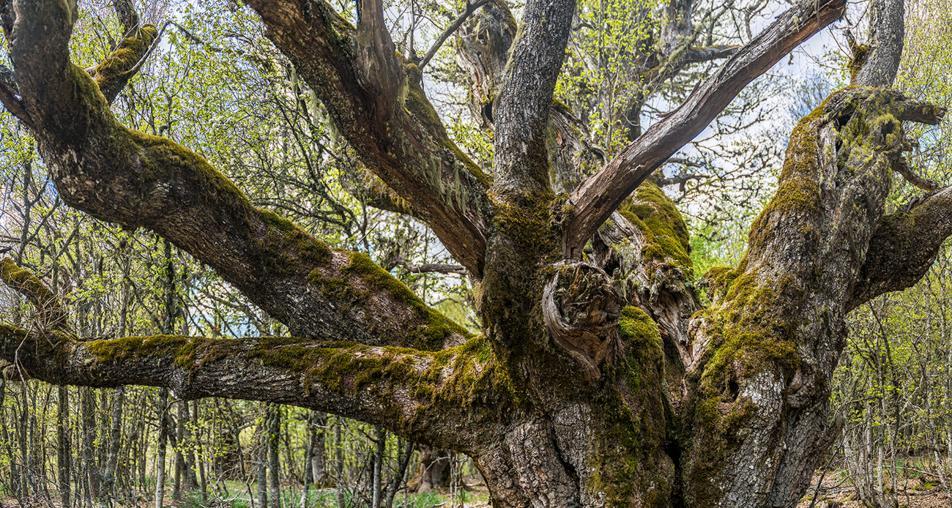 Árboles centenarios